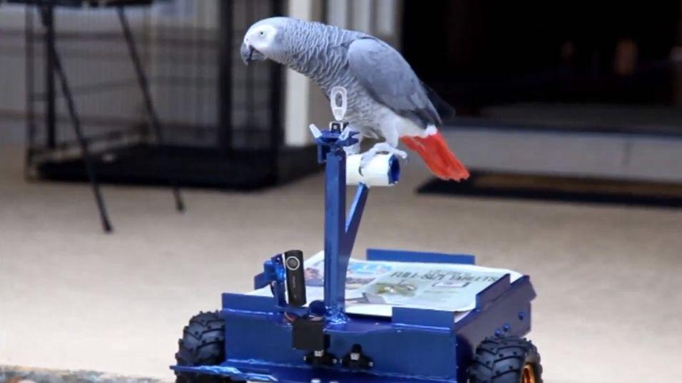 Papegøyen Pepper kommer seg fint av sted med denne hjemmelagde «bilen».