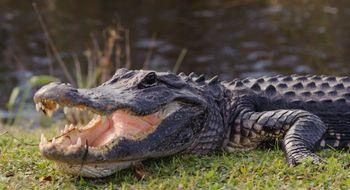 Alligator rappet kamera