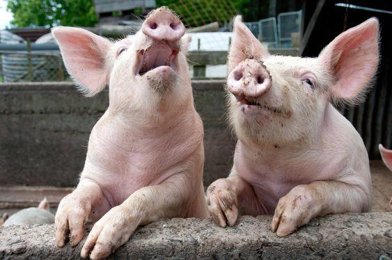 ... Og så løp grisen ut!