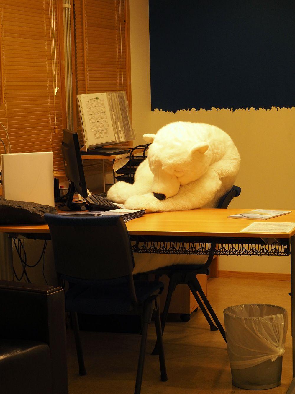 Trøtt bamse hos Spitsbergen Travel.