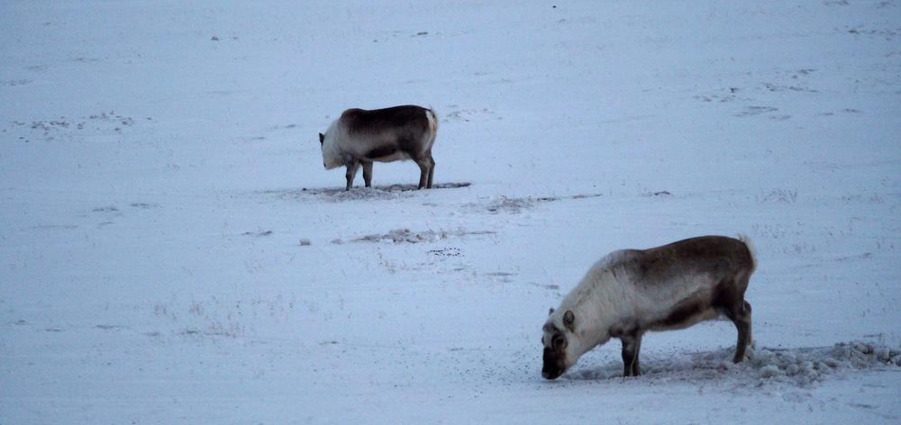 Det var heldigvis ikke mange isbjørn å se denne gangen, men et og annet Svalbard-reinsdyr så vi på veien. Disse kjennetegnes av de korte beina, og de kan stå på samme plass og grave etter mat i flere dager, slik som disse to reinsdyrstekene.