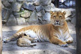 Hvis kjæledyrene dine inkluderer en hannløve og en hunntiger er du kun en Barry White-plate unna dette dyret; en liger.