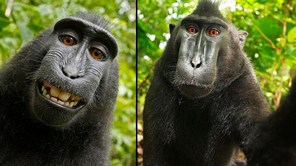 Ifølge det amerikanske opphavsretskontoret og Wikimedia hører disse bildene til offentligheten, ettersom de ble tatt av dyr, ikke et menneske.