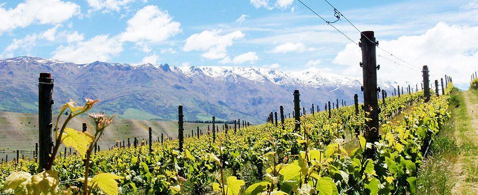 Så gode pinot noir-viner er ikke hverdagskost