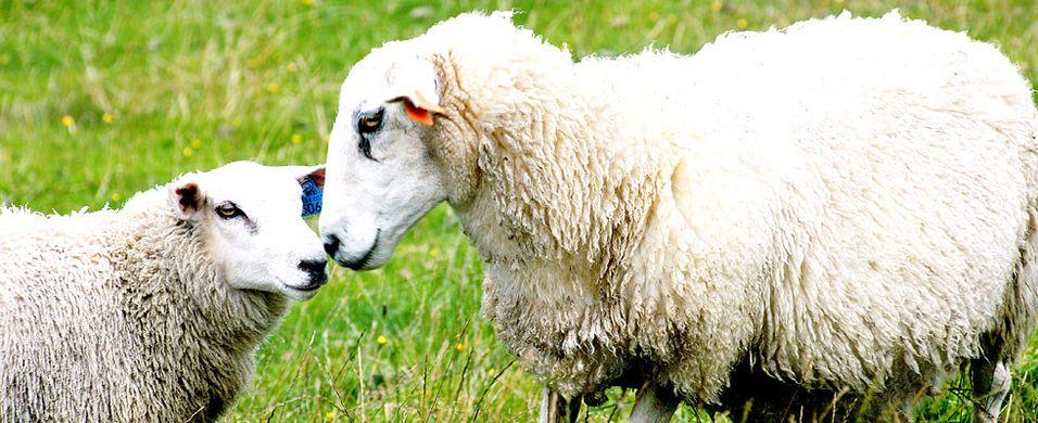 Slik får du mest ut av verdens beste lammekjøtt