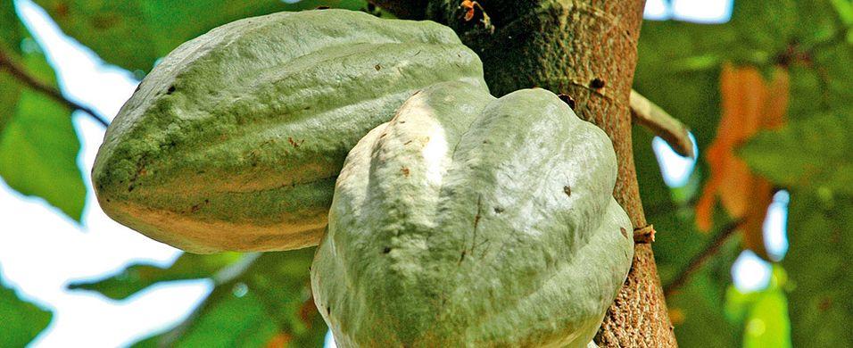 Kakaobønnens vugge