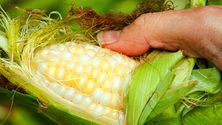 Selvplukket mais legger du rett på grillen