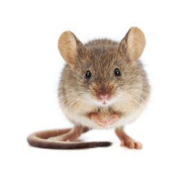 Eksperimentet har hittil bare blitt utført på mus, men kanskje kan det også virke på mennesker med Alzheimers.