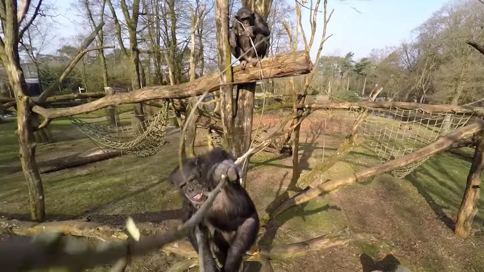 Sjimpansen brukte en lang pinne til å slå ned dronen.
