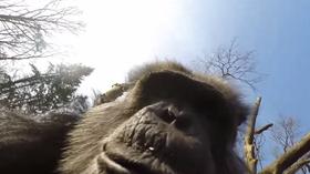 Etterpå studerte sjimpansen dronen på nært hold.
