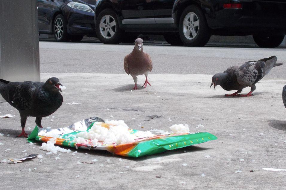 Det er ikke ofte man ser duer som bryr seg så lite om fotografen som dette.