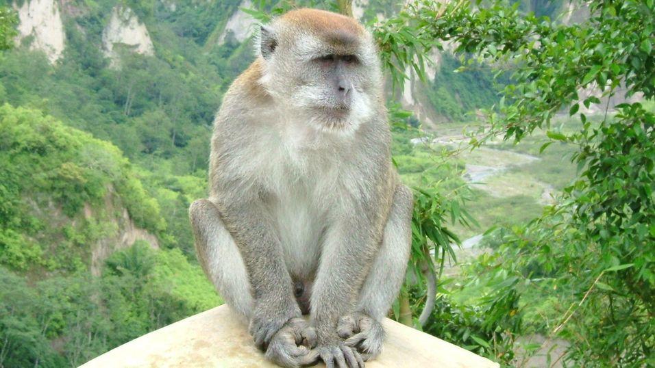 Hodetransplantasjon på aper kan bane vei for menneskeforsøk