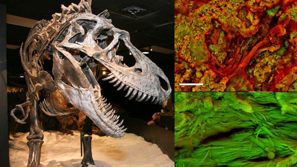 Skal ha funnet rester av blodceller i dinosaurbein