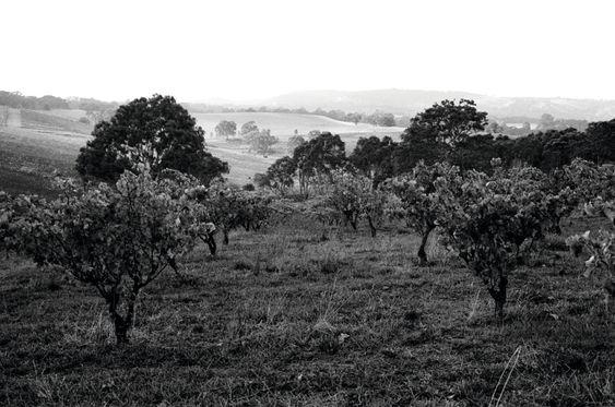 Slik ser Barossas rufsete landskap ut.