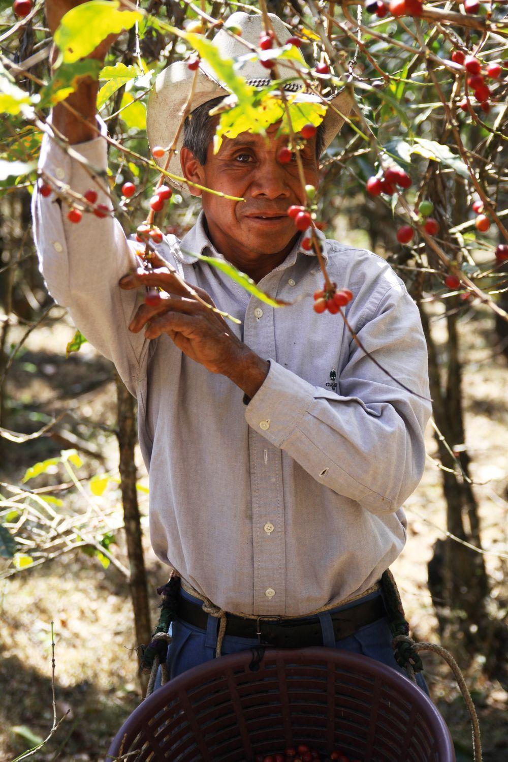 Kaffebrenneriet har kjøpt kaffe fra La Merced i Guatemala siden 2006, og farmen har vært med i CoE-konkuransne mange ganger.