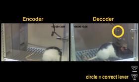 Slik så ett av forsøkene ut, der rottene ble belønnet for å samarbeide om visse oppgaver. De var imidlertid plassert langt unna hverandre, og løste oppgavene utelukkende via sammenkoblingen.