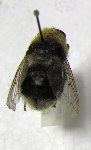 Elgbremsfluen ser litt ut som en humle.