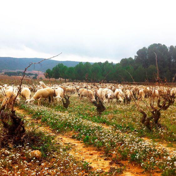 I biodynamsik jordbruk er sauser velkomne i vinmarken.