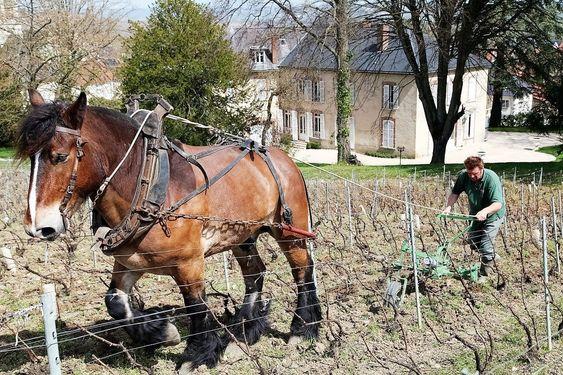 Christian Bourmault bruker hest i vinmarkene.