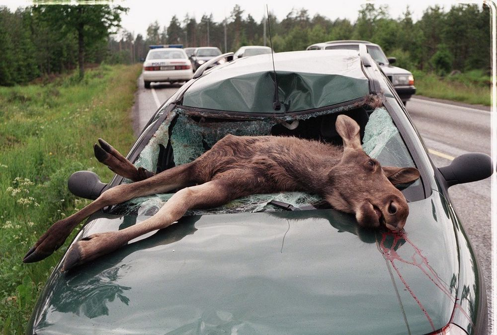 Stadig flere kolliderer med dyr