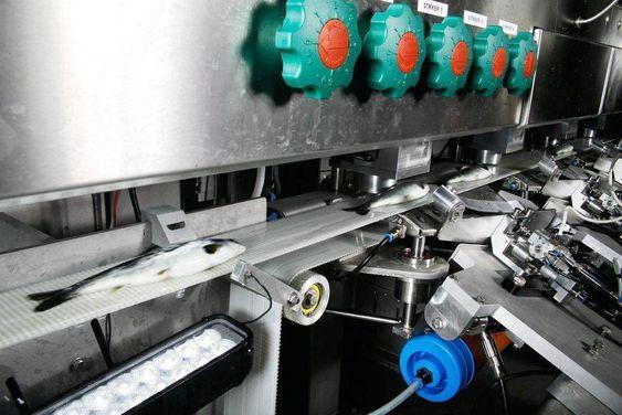 Automatiske vaksineringsmaskiner fra Skala Maskon erstatter mange årsverk i manuell vaksinering.