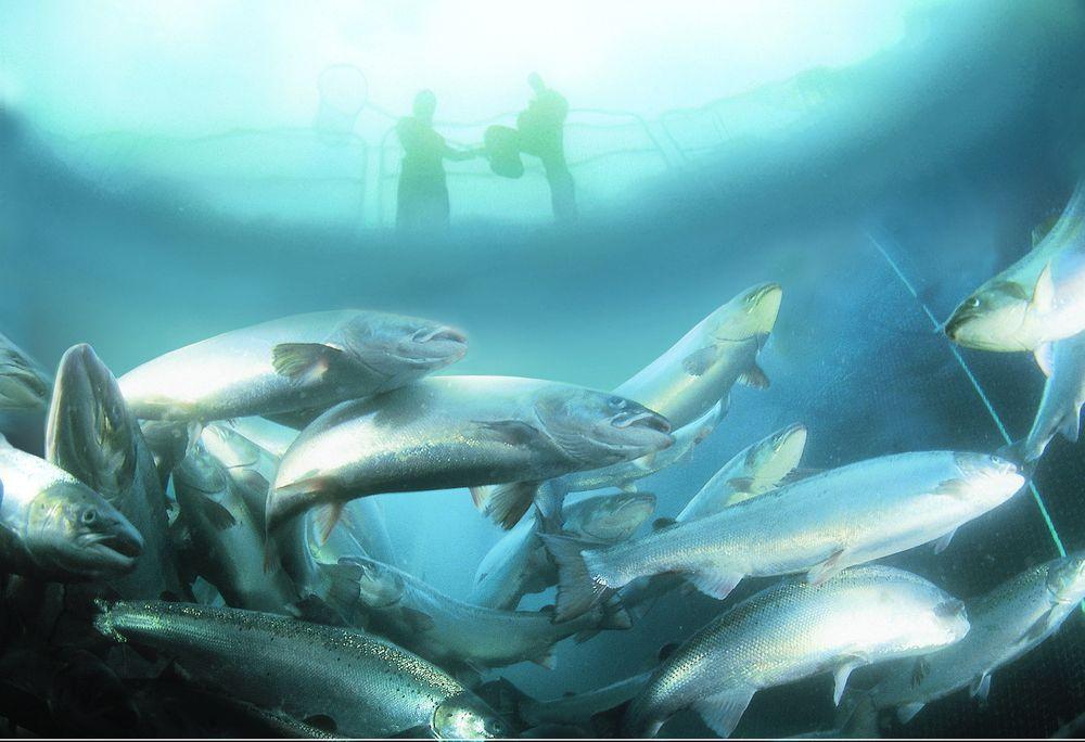 Marine Harvests nye fiskefôrfabrikk i Sør-Trøndelag får styring fra ABB.