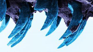 Forskere vil lage nytt supermateriale fra tennene til snegler