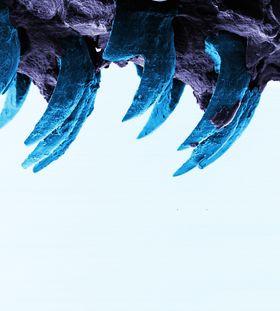 Med atommikroskop er tennene på albueskjell fotografert og studert. Tennene er buet og under 1 mm lange, men blir ikke slitt på grunn av måten fibrene av blant annet mineralet goethitt er bygget opp.