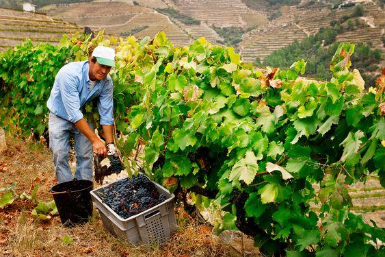 Kooperativet består av en mindre gruppe kvalitetsorienterte vinbønder.