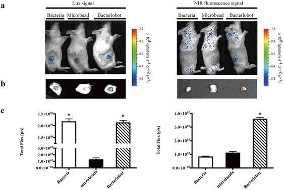 Seks mus ble injisert med CT-26-celler. Da kreftsvulstene nådde en størrelse på 130 mm3, ble musene injisert med bakterier, Ugelstadkuler og nanoroboter.