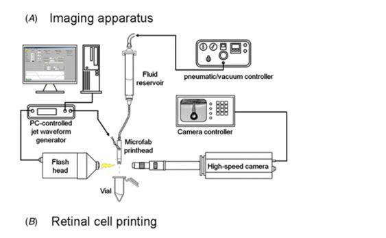 Med skriverhodet fra en standard blekksksirver har forskerne printet ut nerveceller fra netthinnen hos rotter.