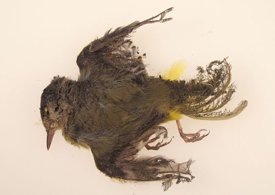 "This October 2013 photo provided by the U.S. Fish and Wildlife Service shows a burned MacGillivray's Warbler that was found at the Ivanpah solar plant in the California Mojave Desert. Workers at a state-of-the-art new solar plant have a word for the birds that fly over the plant's five-mile field of mirrors, ""streamers,"" for the puff of smoke as the birds ignite in mid-air and fall singed to the ground. (AP Photo/U.S. Fish and Wildlife Service)                          / TT / kod 436"