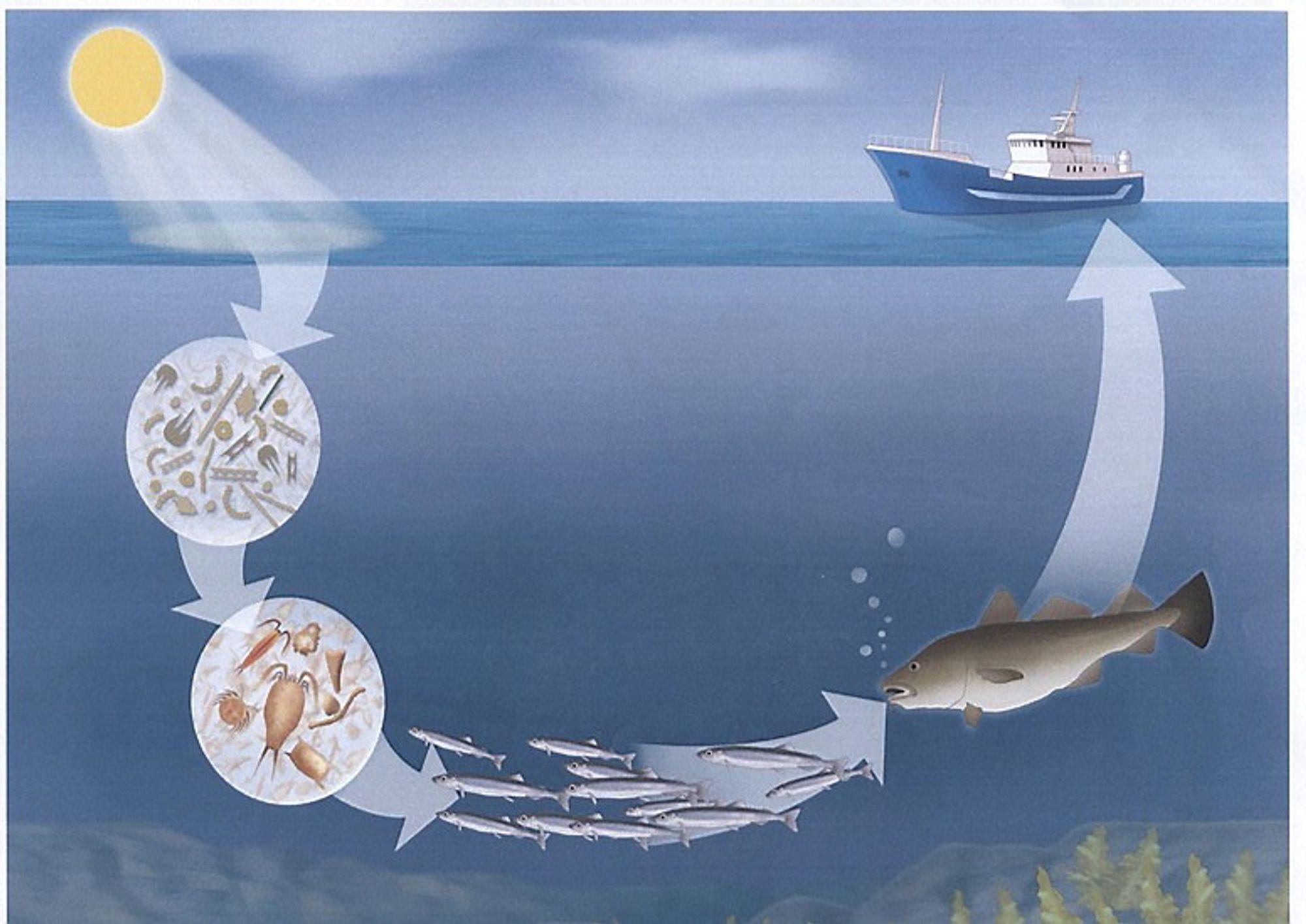 Ressurser: Det er enorme ressurser i havrommets kretsløp. I dag er det så å si bare fiskene til høyre i illustrasjonen som høstes. Det finnes enorme ressurser som i dag ikke høstes.