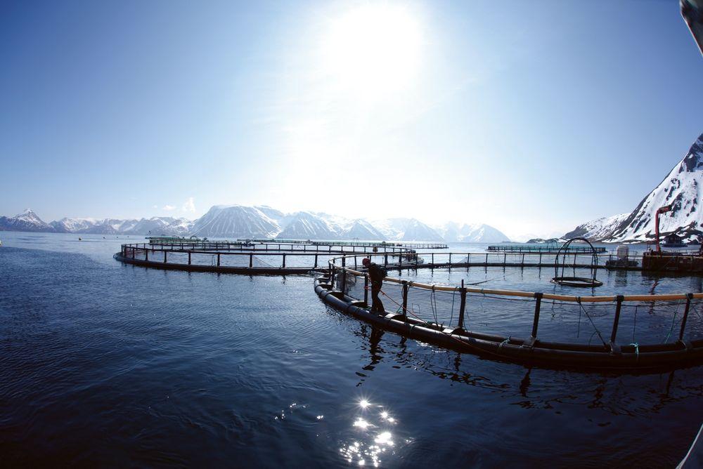 Ikke bare idyll: Av ca. 350 millioner laks i merder langs kysten, har hittil 183.000 klart å rømme. For å avsløre hvor laksen rømmer fra. må det utvikles metoder for å spore fisken. Cermaq begynner nå DNA-kartlegging av foreldrefisken.