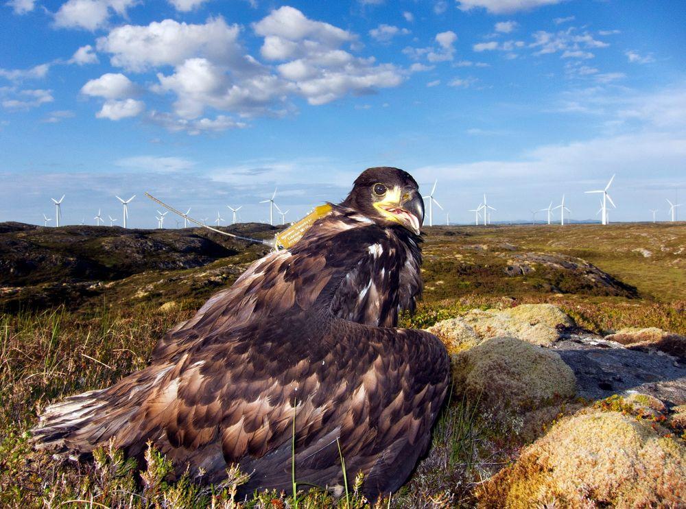 Fjær og reir: Fugleforsker Espen Lie Dahl har merket havørn, samlet havørnfjær for DNA-analyser fra reir og fugleunger og opprettet et kartotek for å finne ut hvor hver enkelt havørn har sitt leveområde.