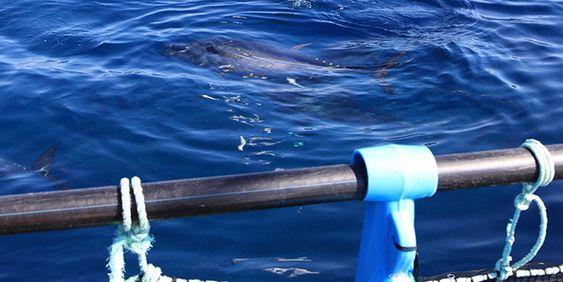 """Ni dager gammel har denne tunfisk-yngelelen blitt drøyt 7 millimeter lang. Rundt den i oppdrettskummen hos SINTEF ses yngelens levende """"babymat"""" – oppdyrkede små krepsdyr som den vesle fisken også har stappet mange av i magen (oransje del av kroppen)."""