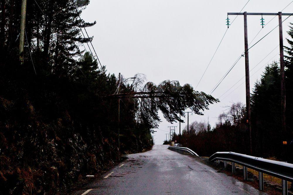 Stormen Dagmar: Et tre henger over veien i Hankane ved Ålesund, etter at stormen Dagmar har vært på ferde. Romjulsstormen på Nordvestlandet romjulen 2011 ble kostbar for nettselskapene, ikke minst Stryn Energi, som ble ekstra hardt rammet.