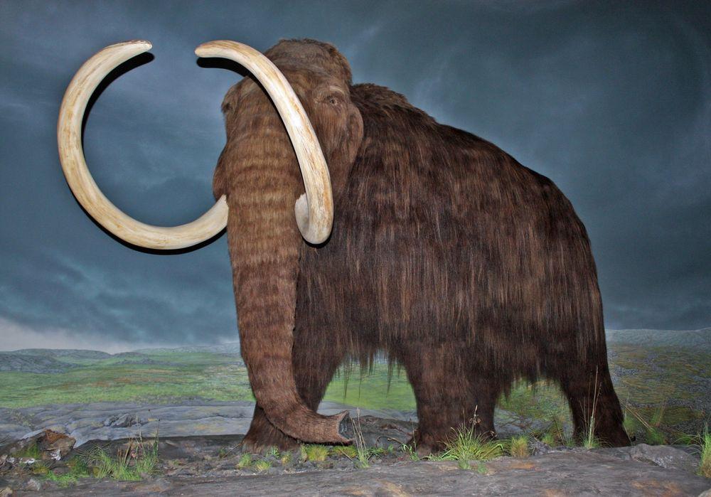 KAN GJENOPPSTÅ: To forskermiljøer prøver å gjenskape mammuten.