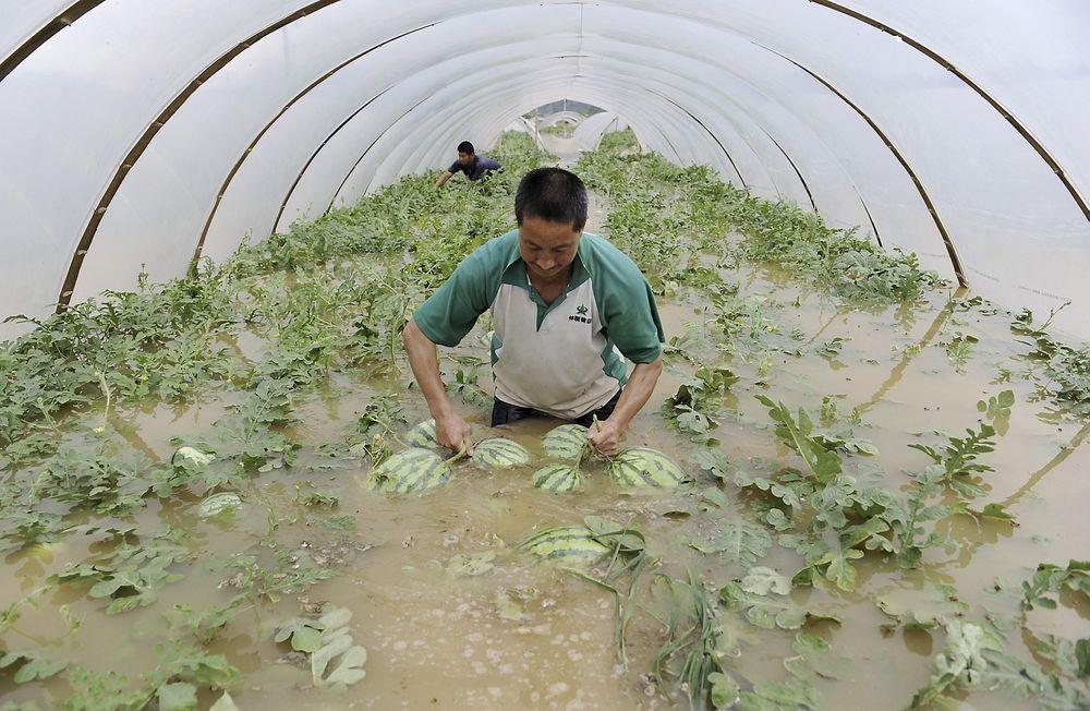 UTSATT: Landbruket i Kina er utsatt dersom det blir mer ekstremvær. Her plukker en bonde vannmeloner i et telt på en oversvømt gård i Zhejiang-provinsen i juni i fjor.