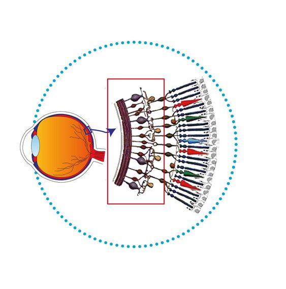 NYOPPDAGET: Det er ikke lenge siden man oppdaget en tredje type fotokjemiske lyssensorer i øyets netthinne; melanopsin-sensorene. De er plassert under laget med tapper og staver i netthinnen.