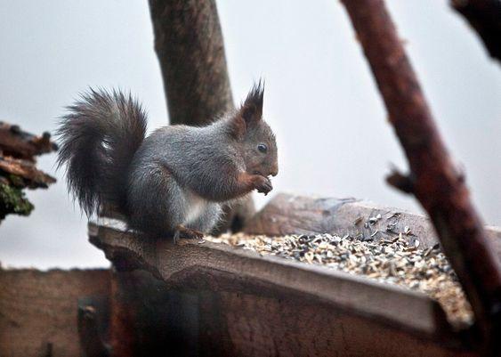 FROKOST: Et uredd ekorn tar seg tid til en lengre frokost på Granhytta.