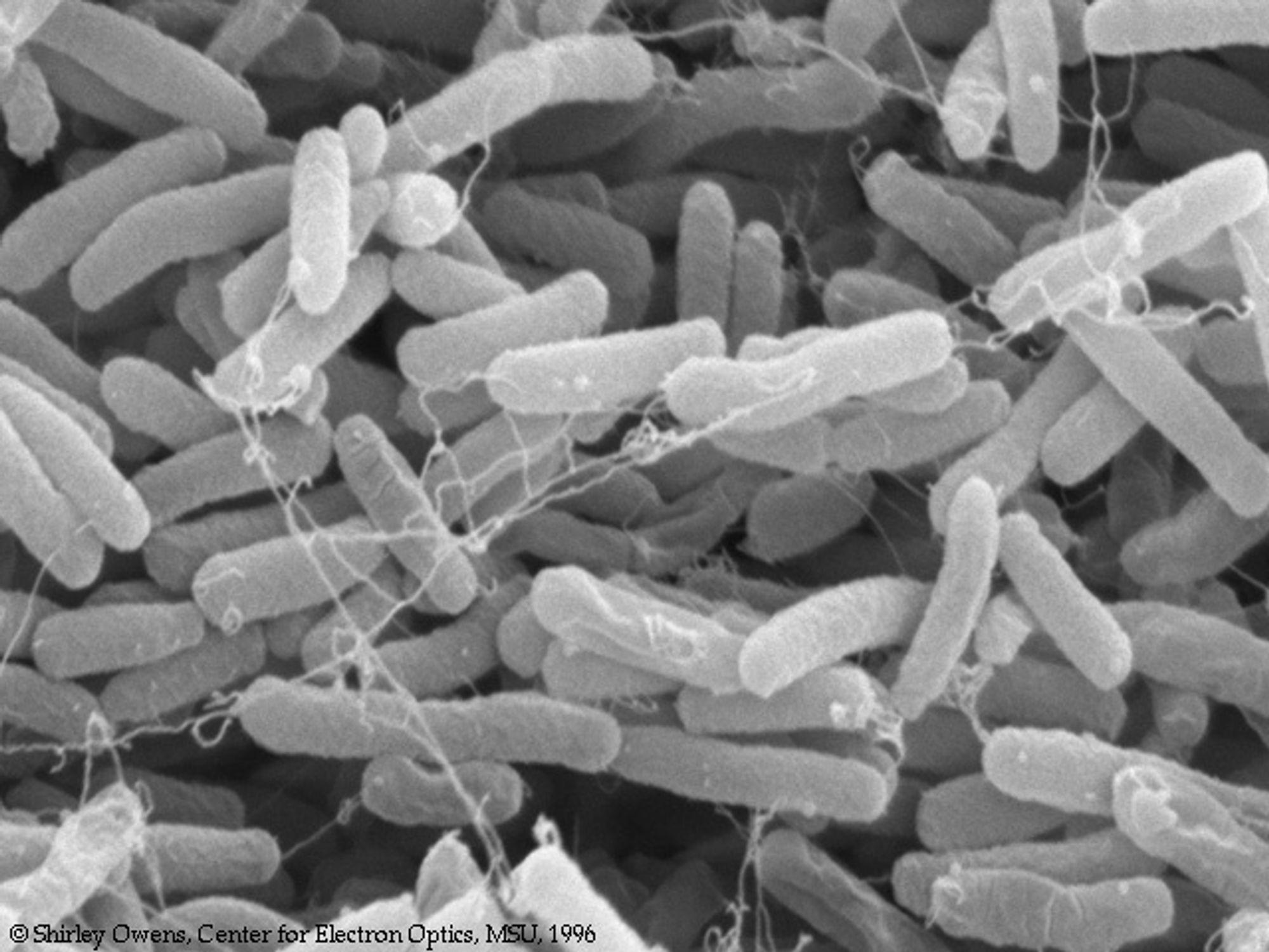E.Coli er blant bakteriene som kan brukes til masselagring av data.