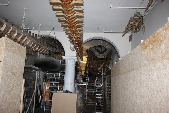 STENGT: Det er en omfattende jobb å rense 27 hvalskjeletter. Avdelingen i museet er stengt for publikum i de to årene restaureringen pågår. Det ser nærmest ut som en byggeplass, med midlertidige vegger, stilaser og trapper.