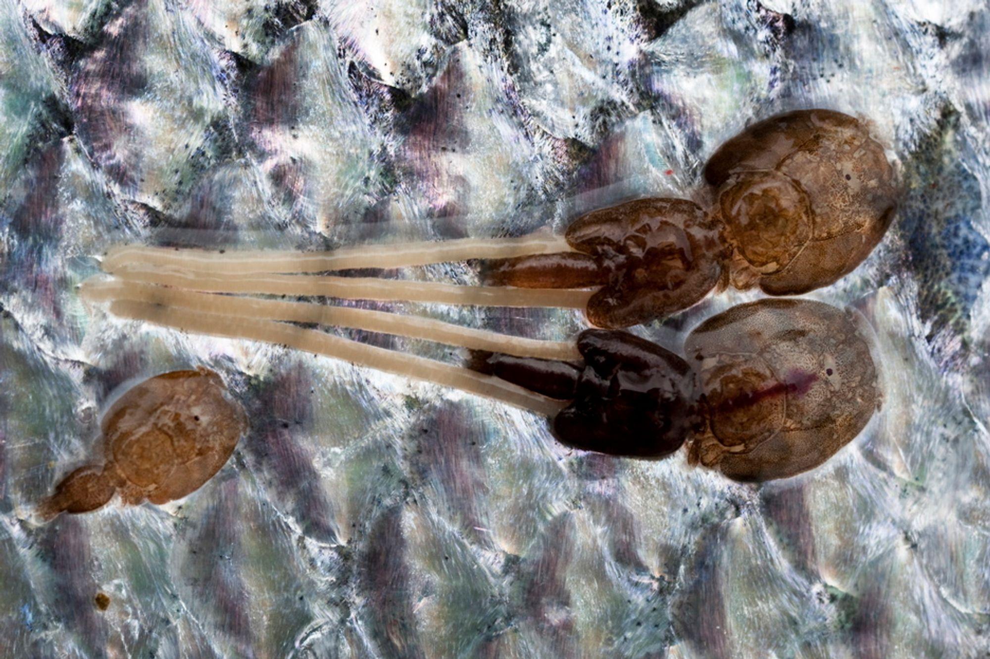 PARASITT: Lakselus (Lepeophtheirus salmonis) er en art i gruppen hoppekreps. Den lever som marin parasitt på laksefisker. Den lever av slimet, huden og blodet til fisken.