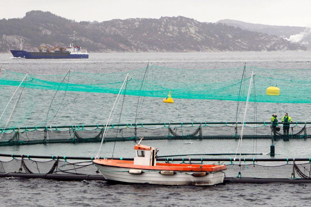 SKIFTES UT: De sterke kyststrømmene langs norskekysten sørger for god vannutskifting i norske fjorder. Dette bidrar til at forurensing fra fiskeoppdrett ikke overgjødsler vannmassen i norske fjorder. De skader heller ikke tang- og tareproduksjonen.