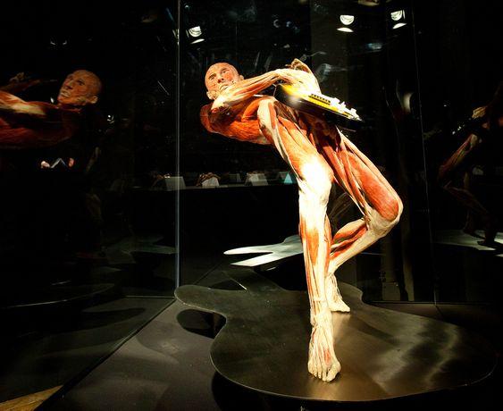 Spiller med Musklene:  Ved hjelp av plastinasjonsteknikk kan man lage fantastiske «statuer» der alt blir bevart.