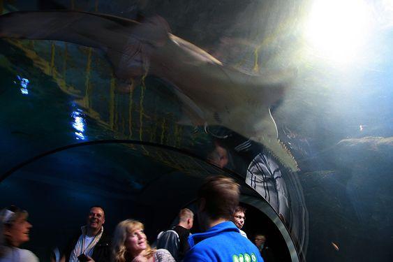 Viser tennene: Sagfisken Fröken Sågkrates vekker oppmerksomhet i akvarietunnelen.