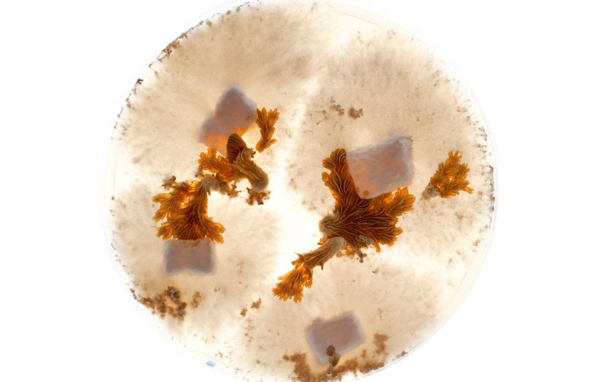 SCHIZOPHYLLAN: De hvite bomullsaktige strukturene produserer biopolymeren. De brune flekkene sørger for reproduksjon.