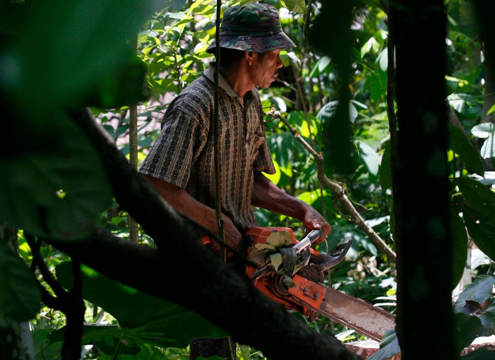En mann er i ferd med å sage opp trær som er hogget ulovlig på øya Java i Indonesia.