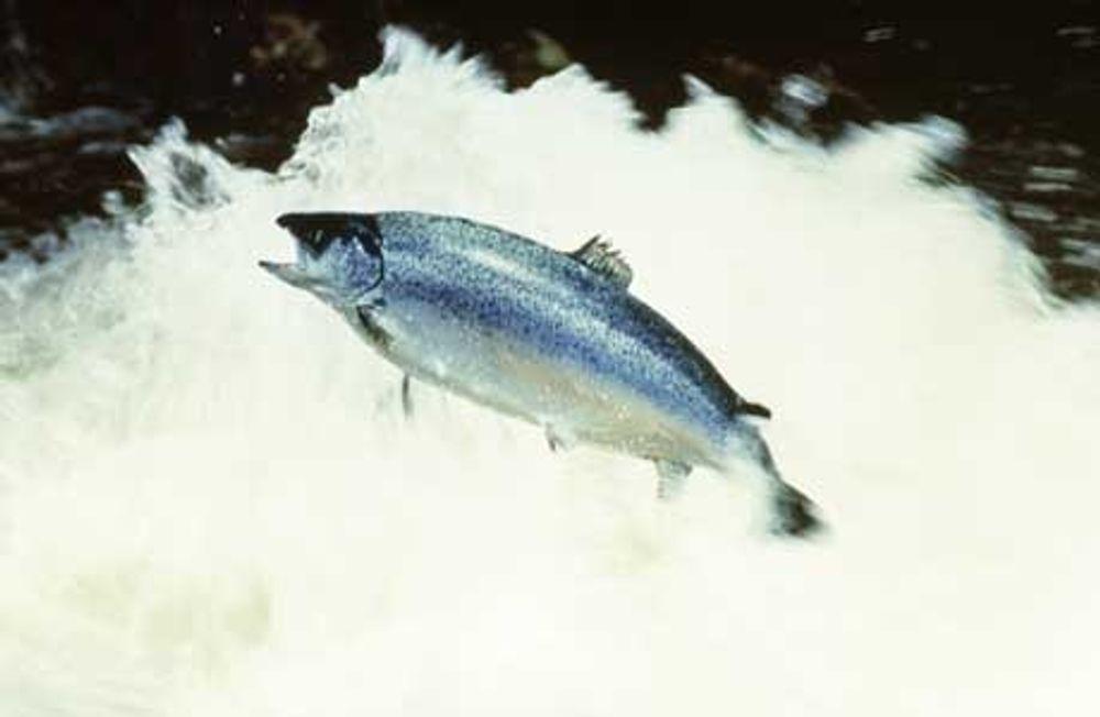 Glade lakser kan hope og sprette i gyro-frie elver takket være aluminiumssalter. Foto: Eksportutvalget for fisk